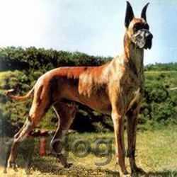 大型泰迪犬价格_大型长毛犬有哪些品种_大型犬排名